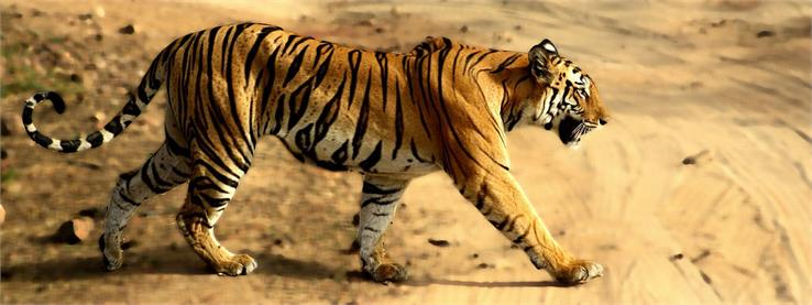 wildlife in bandhavgarh national park